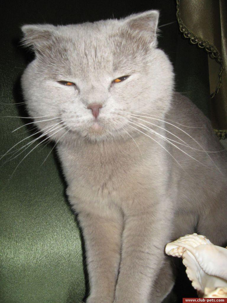 Ищу кота для кошки вислоухого