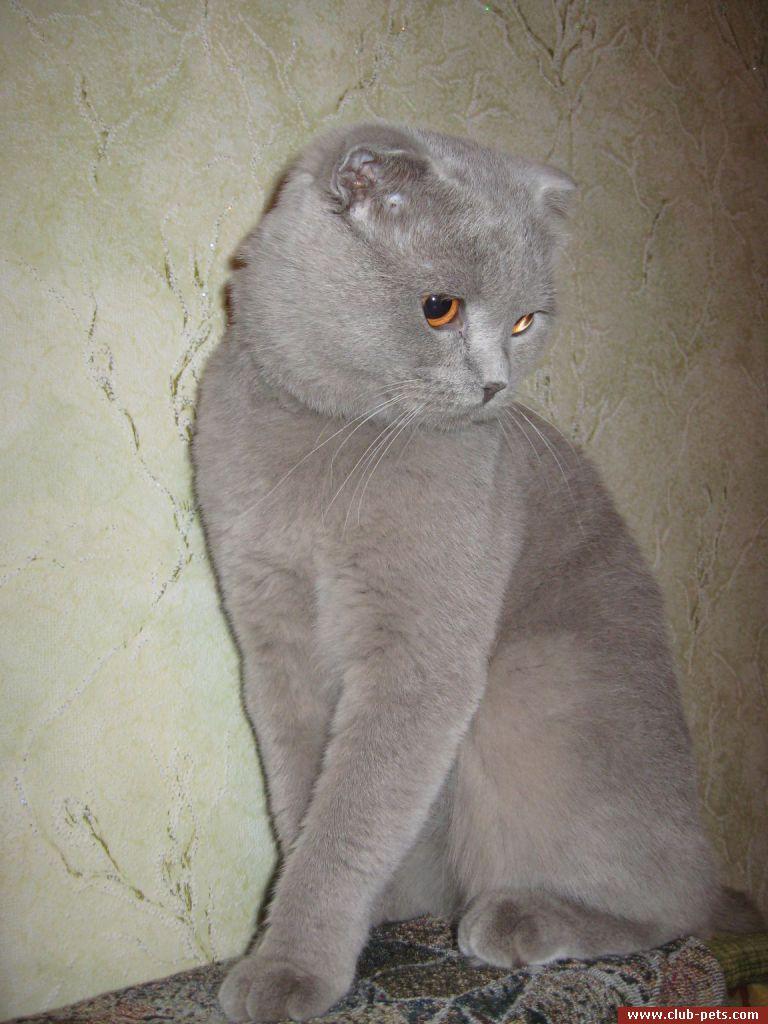 Фото стрижек котов шотландских вислоухих