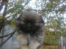 щенок карликового пекинеса