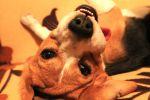 Продам подрощенного щенка Бигля
