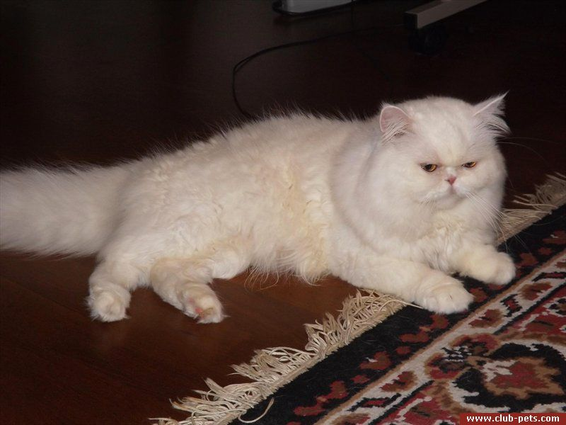 Белый кот на вязку