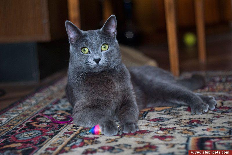голубой русский кот фото