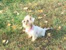 Пропала собака помесь Йорка с шицу. г. Киев, р-н Царское село, ул. Старонаводницкая