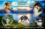 Элитные щенки колли длинношёрстной в Одесском питомнике DOROFEYA!