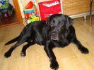 18.03.2011 г. пропала собака лабрадор-ретривер