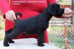 Цвергшнауцер (миниатюрный) чёрного окраса. Щенки высокого качества от титулованных производителей.