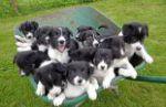 Приобретем члена семьи – щенка бордер-колли