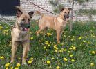 Чудесные рыжие щенки -метисы ищут добрых хозяев
