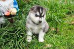 """Питомник Сибирских Хаски """"ARCTIC DOGS UA"""" предлагает щенков"""