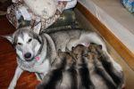 Продаются щенки аляскинского маламута от титулованных родителей