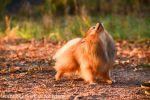 Померанский Шпиц ищет невесту для вязки