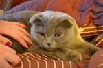 Пропала вислоухая кошка 20.06.11 г.