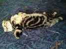 Шотландский вислоухий кот ищет невесту для вязки