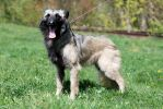 Нельма, собака с окрасом потрясающей красоты.