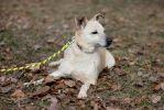 Белочка, четырехлетняя стерилизованная собака.