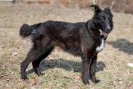 Лея, двухлетняя стерилизованная собака.