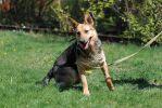 Лана, полуторагодовалая стерилизованная девочка, метис немецкой овчарки.