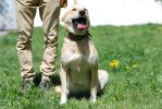 Солнце, крупная двухлетняя стерилизованная собака.