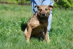 Ибица, небольшая стерилизованная собака.