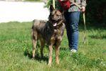 Волчик, молодой пес среднего размера.