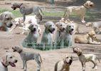 Перспективные щенки лабрадора