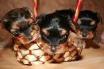 Очаровательные щенки Йоркширских терьеров!!!