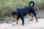 Пропала собака, ротвейлер, кобель, 1 год.