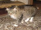 Сибиряк приглашает на вязку кошку