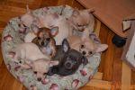 Продаются щенки чихуахуа различных окрасов. Щенки подросли!