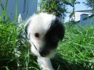 Китайский хохлатый щенок мальчик