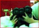Породистые щенки лабрадора-ретривера ищут хозяев
