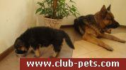 Продаем щенков немецкой овчарки