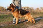 Красивый крупный кобель немецкой овчарки ищет девочку для вязки