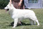Белая овчарка,  белая немецкая овчарка,  белая швейцарская овчарка (БШО), американо-канадская овчарка, щенки