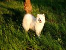 Предлагается для племенного использования кобель Самоеда - Авангард Арктик Рафаэль да Силва (1г 8 мес) - родословная РКФ.