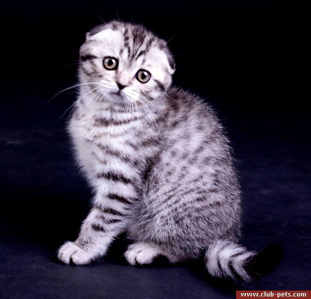 Купить в киеве вислоухого кота