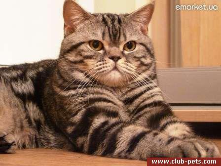 Кот для случки шотландского вислоухого кота
