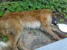 Найдены собаки русской борзой